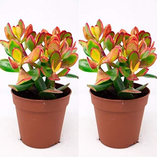 2 x Crassula Ovata - Money Penny Plant in 12cm Pots