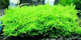 サムライモス 5葉 国産無農薬  ◆三角の葉が綺麗◆
