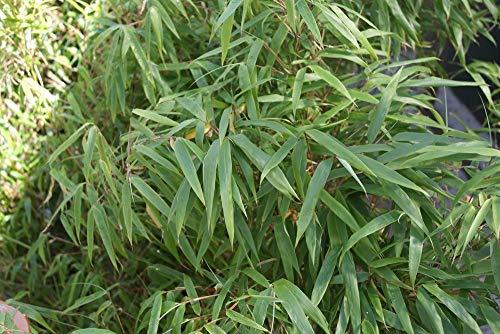SANHOC Semi Pacchetto: gardenexpert Fargesia Murieliae'Rufa' in 15 centimetri SEED