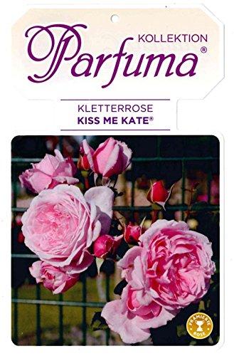 Kräftige Kletterrose 'Kiss me Kate'® im 7 L Topf gewachsen mit duftenden Blüten
