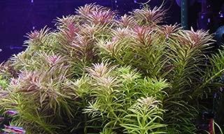 Water Plants Limnophila aromatica - 2 Bunch - Live Aquarium Plant
