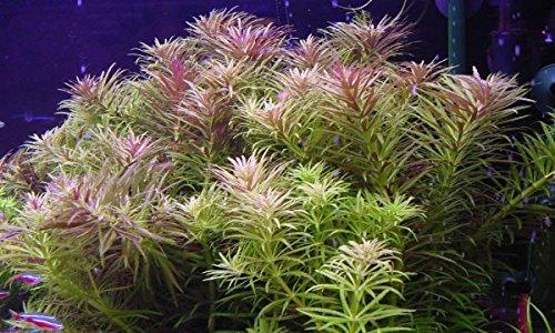 Aromatischer Sumpffreund / Limnophila aromatica - 2 Bund