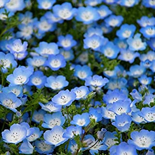 David's Garden Seeds Flower Native California Baby Blue Eyes SV3231 (Blue) 500 Non-GMO, Heirloom Seeds