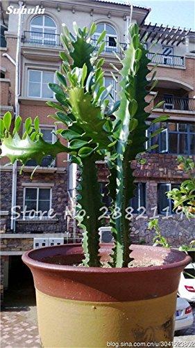 Géant à long Cactus Graines résistant à la chaleur extérieure Succulent Plante en pot Purifier Air Bonsai pour jardin Radioprotection 80 Pcs 3