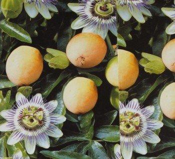 Passiflora edulis Passionsblume Maracujua