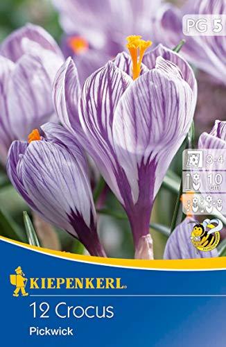 Crocus Pickwick, 12 Stück Blumenzwiebeln