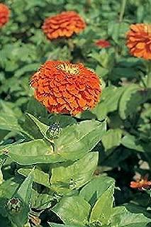 Zinnia Benary Giant Orange Annual Flowers Seeds 250 Pcs an