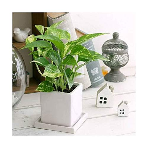 (観葉植物)ポトス 品種おまかせ 陶器鉢植え ダイスM WH(1鉢) 受け皿付き