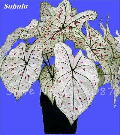 Janpanse Bonsai coleus Seeds 50 Pcs plantes feuillage couleur parfait arc Graines Belle mixte Fleur Flore Jardin Sement 3