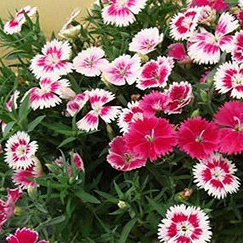 Semi colorati misti di Dianthus barbatus 30+ Sweet William Perennial Flower Semi di fiori non OGM impollinati aperti