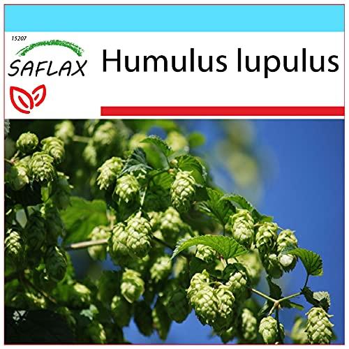 SAFLAX - Set regalo - Lúpulo - 50 semillas - Con caja regalo/envío, etiqueta para envío, tarjeta de felicitación y sustrato de cultivo y fertilizante - Humulus lupulus