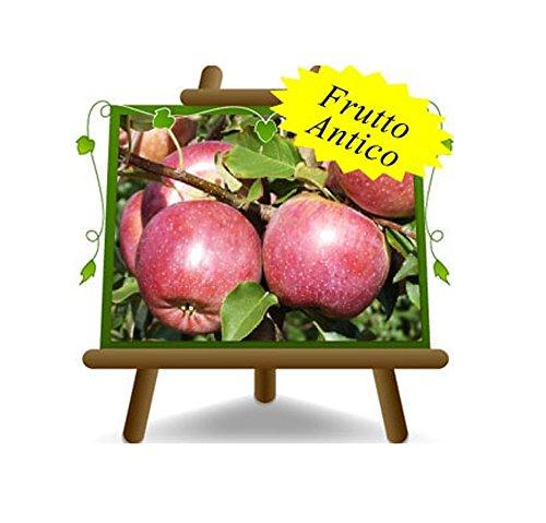 pommier FUJI Plante fruitière vieux sur un pot de 26 - max 200 cm - 4 ans