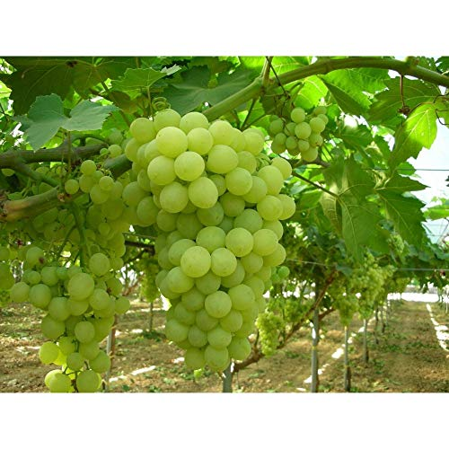 Thompson Seedless Grape Vine 15-20 Inch Height in...