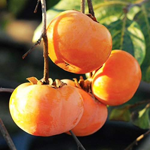 Pianta da frutto ALBERO DEI FRUTTI DEGLI DEI - LOTO/KAKI -DIOSPYROS KAKI - SIMILE A RADICE NUDA - 1 METRO pianta vera
