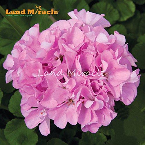 Double Pink Geranium Seeds, 5 graines, Bonsai Rose Pelargonium vivace Graines de fleurs pour le jardin plante