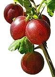 Stachelbeere 10 Samen -Winterhart- -Ribes uva-crispa -