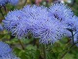 SAGEAWAY Semillas Crisantemo Azul Mosquito Repelente de Flores