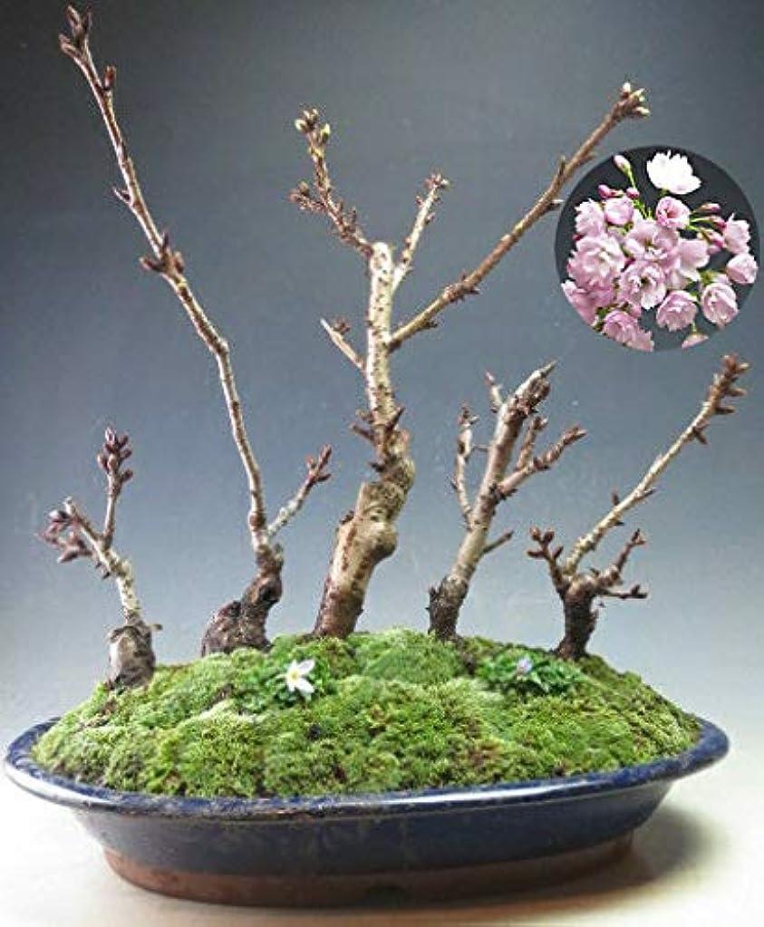 争う上へ周囲桜盆栽 旭山桜の寄せ植え盆栽(D)【現品】今年の開花は終わっております。