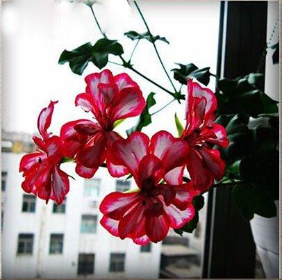 Unique Blanc & Rouge Bord Géranium Graines vivaces fleurs Graines Pelargonium Fleurs domestiques 30PCS