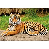 GREAT ART® XXL Poster – Majestätischer Tiger –