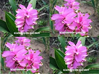 5 Plants Bulbs Pratumrat with green rim Siam Tulip Curcuma Alismatifolia Tropical Fresh and Viable + FREE PHYTO Flower Fresh & Viable From Garden