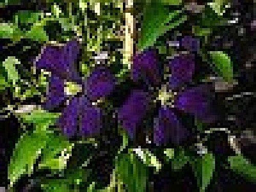 Italienische Waldrebe - Clematis viticella - Etoile Violette - stark wachsend, pflegeleicht - 40-60 cm