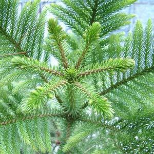 50 Araucaria Samen Pflanzen im Freien Samen Blattpflanzen Baumsamen Refreshing Bonsai