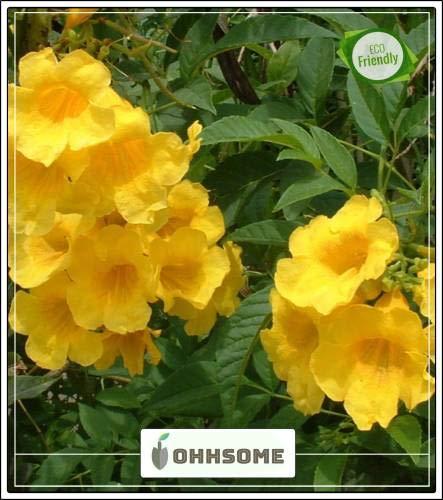 Pinkdose Ginger-Thomas Winter Flower Graines Angiosperme Jardinerie Paquet de semences