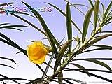 verde dell'esercito: grande promozione 100 semi di nerium oleandro piantare in vaso stagioni piante da fiore semi facili da coltivare balcone decorazione del giardino