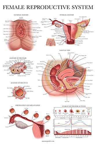 Laminated Female Reproductive System Anatomical Chart - Female Anatomy Poster - 18 x 27