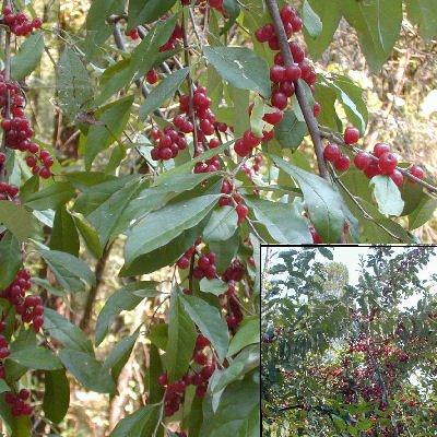 Autumn Olive Eleagnus umbellata Japanese...