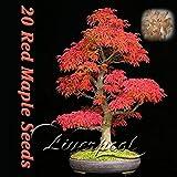 50 semillas de arce japonés Árbol de los bonsais del arce rojo Favoritos de mariposas y abejas útiles envío libre del jardín de DIY 20Japanese arce rojo