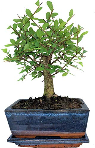 Chinese Elm Broom Style Bonsai Tree Supplied with Matching Ceramic Tray by Bonsai2u