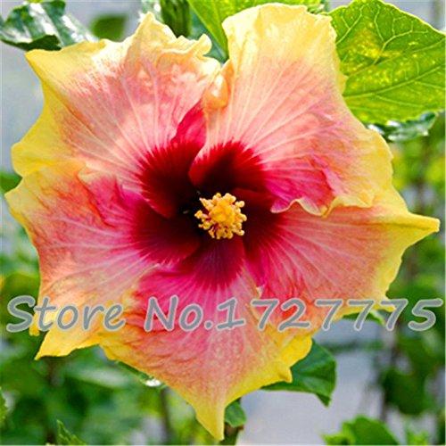 On Sale. 200 pcs Hibiscus Graines 24 sortes de Chine d'hibiscus Graines de fleur d'hibiscus Arbre Graines pour plantes en pot de fleurs - bleu foncé