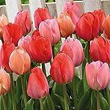 22x Tulipa 'Hello Spring'   Rote Tulpen   Tulpenzwiebeln   Frühjahrsblüher Zwiebeln   Blühende Stauden   Blumenzwiebeln Winterhart
