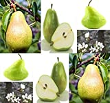 Big Pack - (300+) Bartlett Pear, Pyrus communis 'Bartlett', Tree Seed - Sweet White Flesh - Fast Growth Habit - Zones 4-9 - by MySeeds.Co (Big Pack - Pear Bartlett)