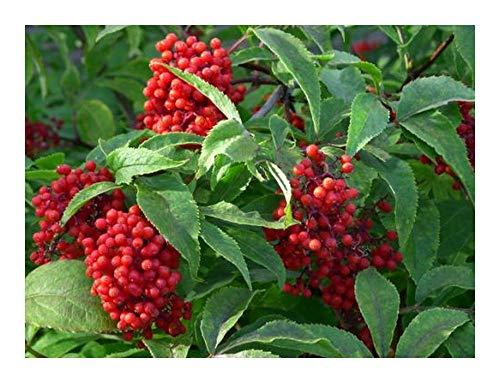 Sambucus racemosa - Sureau à grappes - 30 graines