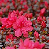 Hardy Evergreen Compact Dwarf Azalea Shrubs for The Garden, Patios, Beds & Borders Provide Spectacular Colour 1 x Orange Azalea in 9cm Pot by Thompson & Morgan