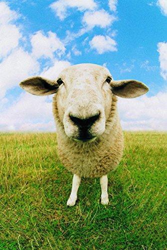 Close Up of Sheep Photo Photograph Sheep Posters Farm Animals Wall Art Sheep Artwork Sheep Decor Country Sheep Decor Farm Animal Pictures Wall Decor Cool Wall Decor Art Print Poster 24x36