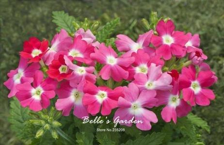 100pcs multi-couleurs Variété Verveine Graines Hardy Plantes Graines de fleurs exotiques Fleurs ornementales Bonsai Graines 02