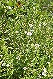 *2er-Set - Gratiola officinalis - Gottes-Gnadenkraut, weiß - Wasserpflanzen Wolff