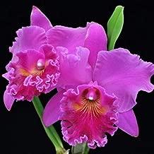 BIN) Pot Mitsuko Akatsuka 'Volcano Queen' Cattleya Orchid Plant 2 1/2