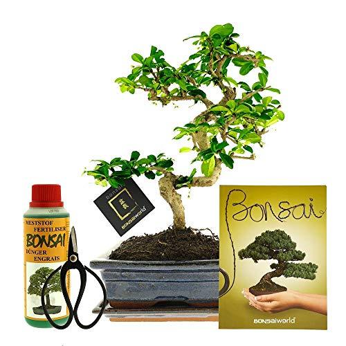 Bonsaiworld Bonsai 6-teiliges Set XL - 12 Jahre - Baumhöhe 30-35 cm