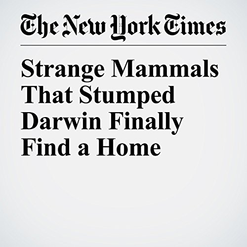 Strange Mammals That Stumped Darwin Finally Find a Home copertina