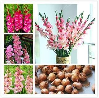 Gladiolus Seeds (Gladiolus Seeds), Germination, Diy Aerobic, Gladiolus Seeds - Seeds : Multi-Colored