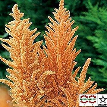 Fash Lady Amaranthus - Biscuit Chaud - 50 Graines