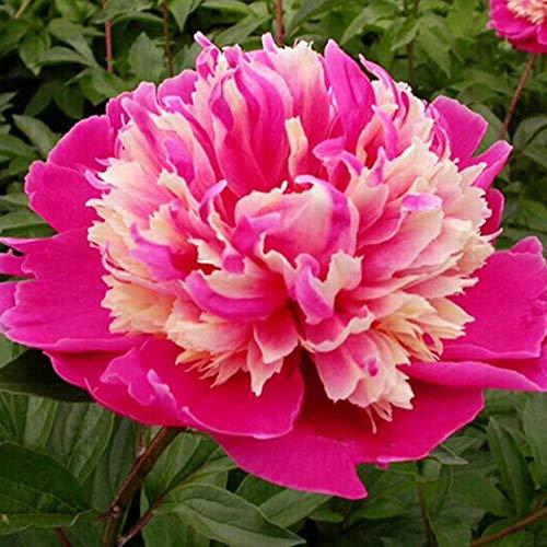 Keland Garten - Selten 10 Stück Paeonia suffruticosa Strauch-Pfingstrose Samen duftend, Päonien Farb-Mix geeignet für Ihr Garten, Balkon, Terassen