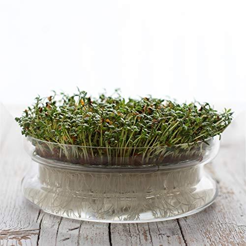 Germinador de semillas para brotes y germinados. Bandeja de germinación en cristal decorativa
