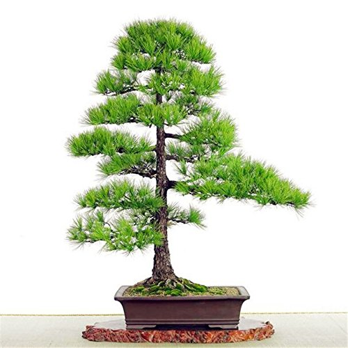 Graines japonais bonsaï Pin Pinus thunbergii Graines, faciles à planter Diy 10 pcs