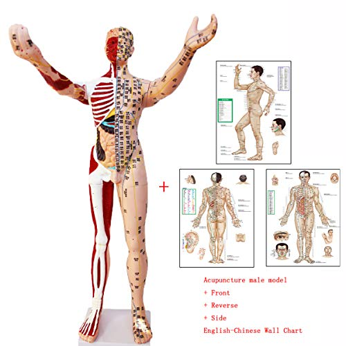 SUAI 85CM Human Acupuncture Model Teaching and Skeletal Muscle Visceral Anatomy Display with Wall Chart (Three)
